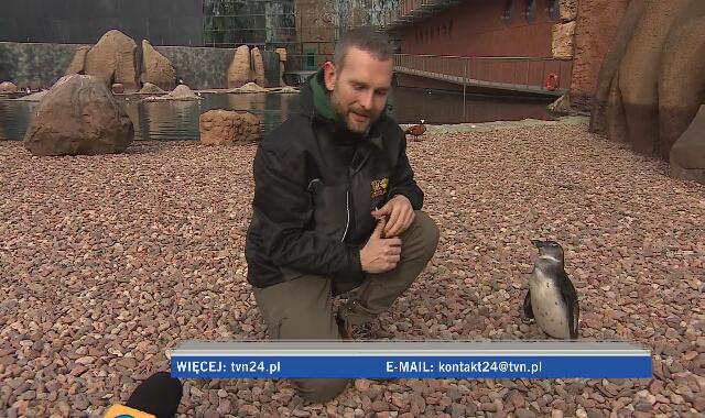 Paweł Borecki, opiekuje się pingwinami we wrocławskim ZOO, ale i w Afryce